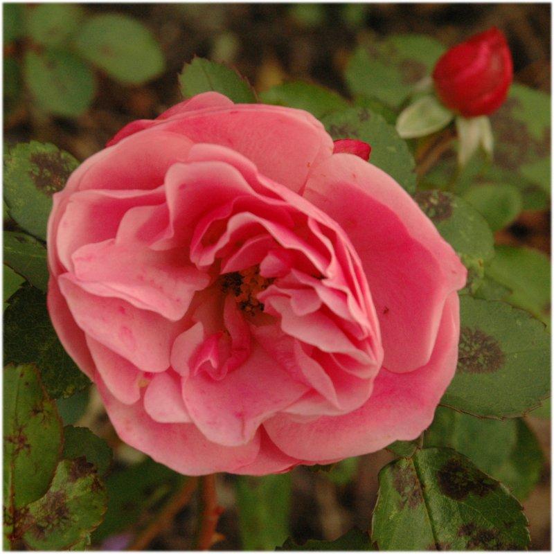 061119_rose02.jpg